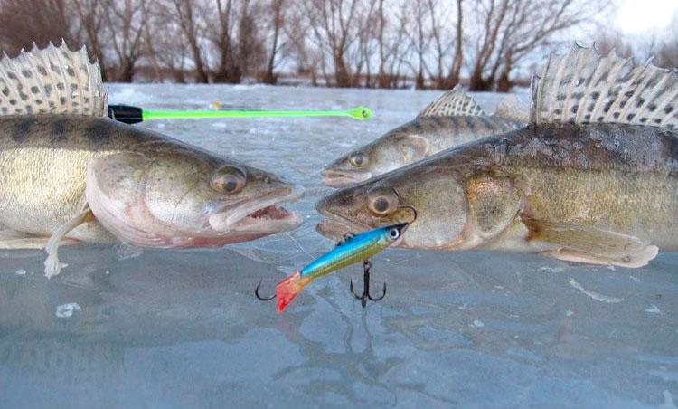 Рыбалка на судака: особенности ловли судака зимой и осенью, выбор приманки и снасти