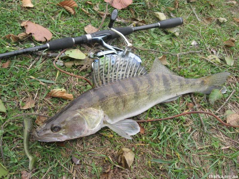 Как ловить судака осенью, Спиннинг от А до Я