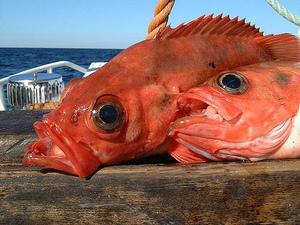 Морской окунь – польза и вред рыбы для организма